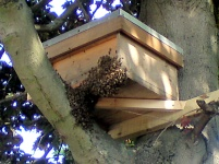 A previous success of a hive fixed into a tree 2.5m in a tree I watched this hive for five days with lots of activity and what looked like two opposing sets of scout bees fighting over the hive but on the fifth day I managed to catch the swarm arrive and a wonder full sight to.