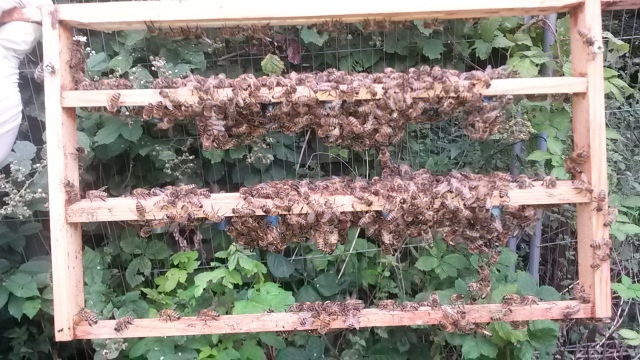 Nine queen cells started but to delicate and risky to brush bees off them